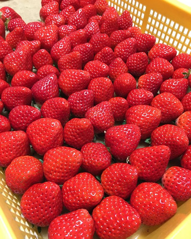 本日も通常営業しております。 昨日、差し入れでたくさんの美味しい苺をいただきましたありがとうございます!! 苺はビタミンCを多く含んでいます!  イチゴはある程度の量をまとめて食べることが多いので、ビタミンCの摂取に適しているといえます。 これは風邪の予防や疲労の回復、肌荒れなどに効果があります。 ビタミンCは免疫向上、美容にも影響してます♪ https://nseitai.com/ 【完全予約制】 【電話番号】080-9542-8357 【営業時間】9:00〜21:00 【定休日】不定休 【住所】〒760-0054香川県高松市常磐町1-9-17