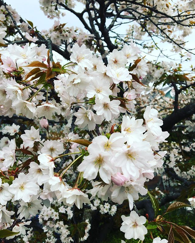 最近、天気が悪い日が続いてますが、近所の桜の木は満開になっていました!もうこんな季節かぁ〜と思いつつも綺麗な桜を見惚れてしまった今日この頃です 公渕公園、栗林公園、紫雲出山など行きたいですね! あと、みなさん体調には気をつけてください 手洗い・うがい・睡眠・食事しっかりと免疫を高めときましょう!! 最後に本日も通常営業しております! みなさんからの予約お待ちしております♪ https://nseitai.com/ 【完全予約制】 【電話番号】080-9542-8357 【営業時間】9:00〜21:00 【定休日】不定休 【住所】〒760-0054香川県高松市常磐町1-9-17