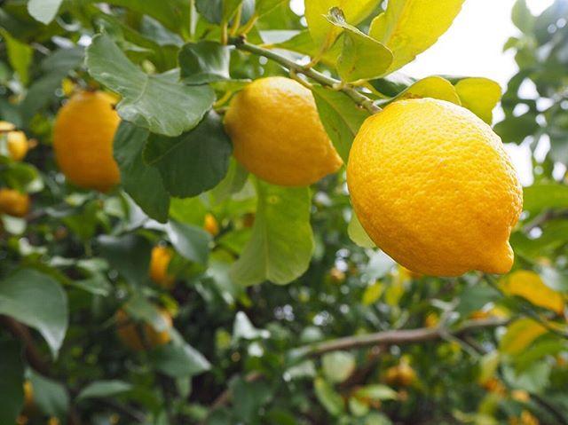 今日は天気が良くていいですね♪こんな日には、花見をしたい今日この頃です!! 最近のことになるのですが、レモンの事を知りたいなと思い、三豊市にある『ロロロッサ』に行ってきました🍋 レモンは、唐揚げや焼肉にかけるだけじゃない いろんな料理に使えます! 『ロロロッサ』では、レモンを使った食べ物や飲み物があり、レモンはいろいろ使える事を改めて知りました🤔 レモンにはたくさんの効果があるという説もあります。たとえば、消化を助けたり、肝臓を解毒したり、加齢によるシミを消したり、新陳代謝をよくしたり、うつ病や不安を和らげたい、胸やけをすっきりさせたり、病気を予防したり、炎症を軽減したりするなど。 将来、いつかレモンを自分でも育てます♪ 最後に本日も通常営業しております! みなさんからの予約お待ちしております♪ https://nseitai.com/ 【完全予約制】 【電話番号】080-9542-8357 【営業時間】9:00〜21:00 【定休日】不定休 【住所】〒760-0054香川県高松市常磐町1-9-17
