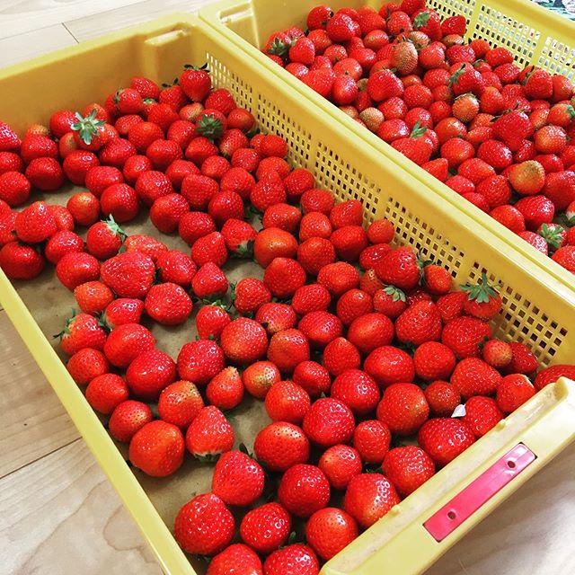 こんにちは️ 差し入れでたくさんの美味しい苺をいただきましたありがとうございます!! 苺はビタミンCを多く含んでいます!  イチゴはある程度の量をまとめて食べることが多いので、ビタミンCの摂取に適しているといえます。 これは風邪の予防や疲労の回復、肌荒れなどに効果があります。 ビタミンCは免疫向上、美容にも影響してます♪ 最後に、本日も通常営業してます! みなさんからの予約お待ちしております♪ https://nseitai.com/ 【完全予約制】 【電話番号】080-9542-8357 【営業時間】9:00〜21:00 【定休日】不定休 【住所】〒760-0054香川県高松市常磐町1-9-17 #ギックリ腰 #ぎっくり腰